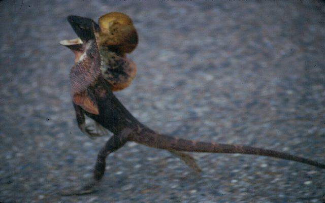 エリマキトカゲの画像 p1_35